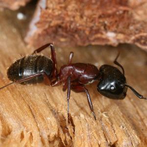extermination-de-fourmis-charpentières